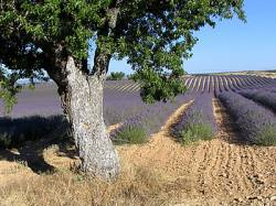 buy a provence property surrounded by lavender